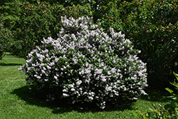 Miss Kim Lilac (Syringa patula 'Miss Kim') at Spruce It Up Garden Centre
