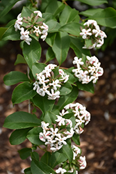 Fragrant Abelia (Abelia mosanensis) at Spruce It Up Garden Centre