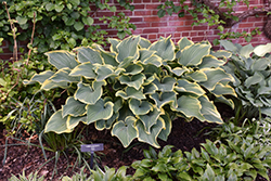 Sagae Hosta (Hosta 'Sagae') at Spruce It Up Garden Centre