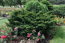 Morden Japanese Yew (Taxus cuspidata 'Morden') at Spruce It Up Garden Centre