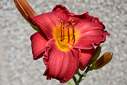 My Ways Daylily (Hemerocallis 'My Ways') at Spruce It Up Garden Centre