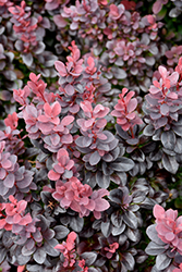 Concorde Japanese Barberry (Berberis thunbergii 'Concorde') at Spruce It Up Garden Centre