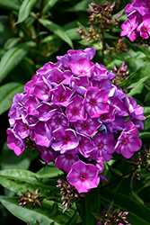 Grape Lollipop™ Garden Phlox (Phlox paniculata 'Ditomsur') at Spruce It Up Garden Centre