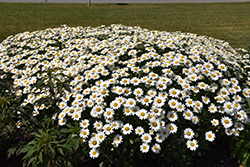 Becky Shasta Daisy (Leucanthemum x superbum 'Becky') at Spruce It Up Garden Centre