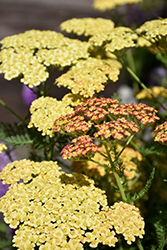 Rainbow Tricolor Yarrow (Achillea millefolium 'Rainbow Tricolor') at Spruce It Up Garden Centre