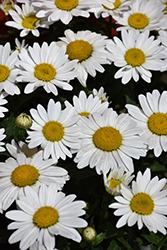 Snowcap Shasta Daisy (Leucanthemum x superbum 'Snowcap') at Spruce It Up Garden Centre