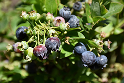 Jelly Bean® Blueberry (Vaccinium 'ZF06-179') at Spruce It Up Garden Centre