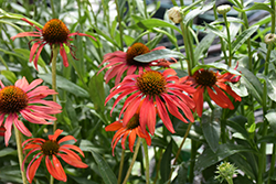 Tomato Soup Coneflower (Echinacea 'Tomato Soup') at Spruce It Up Garden Centre