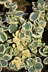 Lime Twister Stonecrop (Sedum 'Lime Twister') at Spruce It Up Garden Centre