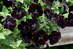 Black Velvet Petunia (Petunia 'Black Velvet') at Spruce It Up Garden Centre