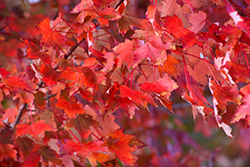 Autumn Radiance Red Maple (Acer rubrum 'Autumn Radiance') at Spruce It Up Garden Centre