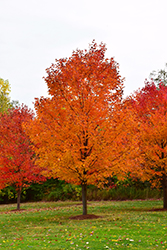 Commemoration Sugar Maple (Acer saccharum 'Commemoration') at Spruce It Up Garden Centre