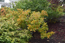 Winter Gold Winterberry (Ilex verticillata 'Winter Gold') at Spruce It Up Garden Centre