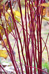 Red Osier Dogwood (Cornus sericea) at Spruce It Up Garden Centre