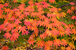 Japanese Maple (Acer palmatum) at Spruce It Up Garden Centre