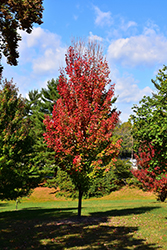 Red Rocket Red Maple (Acer rubrum 'Red Rocket') at Spruce It Up Garden Centre