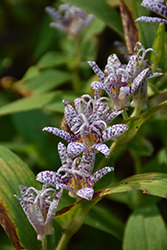 Toad Lily (Tricyrtis hirta) at Spruce It Up Garden Centre