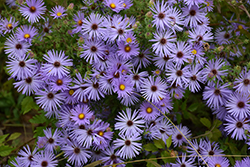 October Skies Aster (Aster oblongifolius 'October Skies') at Spruce It Up Garden Centre