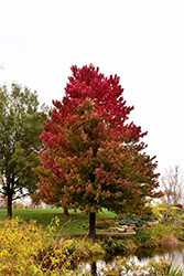 Red Sunset Red Maple (Acer rubrum 'Red Sunset') at Spruce It Up Garden Centre