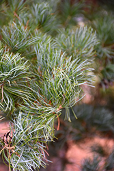 Blue Japanese Pine (Pinus parviflora 'Glauca') at Spruce It Up Garden Centre