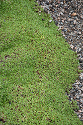 Cushion Bolax (Azorella trifurcata) at Spruce It Up Garden Centre