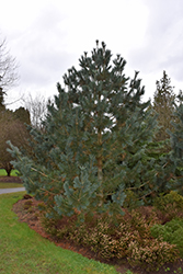 Limber Pine (Pinus flexilis) at Spruce It Up Garden Centre