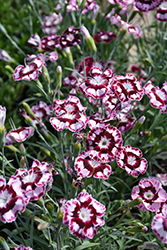 Raspberry Swirl Pinks (Dianthus 'Devon Siskin') at Spruce It Up Garden Centre