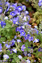 Whitley's Speedwell (Veronica whitleyi) at Spruce It Up Garden Centre