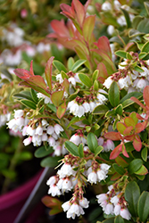 Koralle Lingonberry (Vaccinium vitis-idaea 'Koralle') at Spruce It Up Garden Centre
