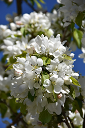 Rosthern Siberian Crab Apple (Malus baccata 'Rosthern') at Spruce It Up Garden Centre