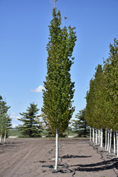 Forest Silver Aspen (Populus tremuloides 'Forest Silver') at Spruce It Up Garden Centre