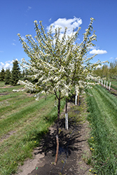 Mary Liss Pincherry (Prunus pennsylvanica 'Mary Liss') at Spruce It Up Garden Centre