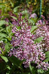 James MacFarlane Lilac (Syringa x prestoniae 'James MacFarlane') at Spruce It Up Garden Centre