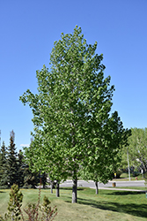 Brooks Poplar (Populus 'Brooks') at Spruce It Up Garden Centre