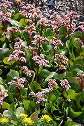 Pink Dragonfly Bergenia (Bergenia 'Pink Dragonfly') at Spruce It Up Garden Centre