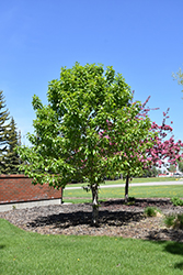 Paskapoo Balsam Poplar (Populus balsamifera 'Paskapoo') at Spruce It Up Garden Centre