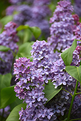 President Lincoln Lilac (Syringa vulgaris 'President Lincoln') at Spruce It Up Garden Centre