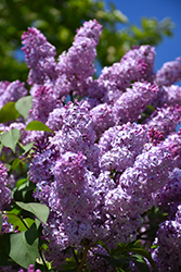 Common Lilac (Syringa vulgaris) at Spruce It Up Garden Centre