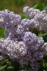 Lavender Lady Lilac (Syringa vulgaris 'Lavender Lady') at Spruce It Up Garden Centre