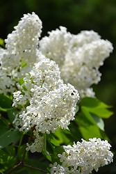 White French Lilac (Syringa vulgaris 'Alba') at Spruce It Up Garden Centre