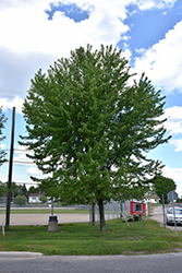 Silver Maple (Acer saccharinum) at Spruce It Up Garden Centre