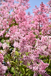 Miss Canada Lilac (Syringa x prestoniae 'Miss Canada') at Spruce It Up Garden Centre