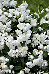 Snowbelle Mockorange (Philadelphus 'Snowbelle') at Spruce It Up Garden Centre
