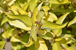 Morden Amber Dogwood (Cornus alba 'Morden Amber') at Spruce It Up Garden Centre