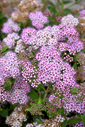 Little Princess Spirea (Spiraea japonica 'Little Princess') at Spruce It Up Garden Centre