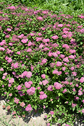 Double Play® Artisan® Spirea (Spiraea japonica 'Galen') at Spruce It Up Garden Centre