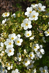 McKay's White Potentilla (Potentilla fruticosa 'McKay's White') at Spruce It Up Garden Centre