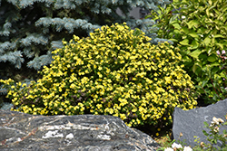 Gold Drop Potentilla (Potentilla fruticosa 'Gold Drop') at Spruce It Up Garden Centre