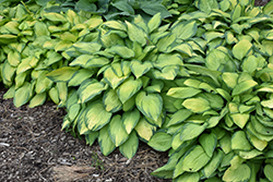 Paul's Glory Hosta (Hosta 'Paul's Glory') at Spruce It Up Garden Centre