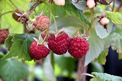 Heritage Raspberry (Rubus 'Heritage') at Spruce It Up Garden Centre